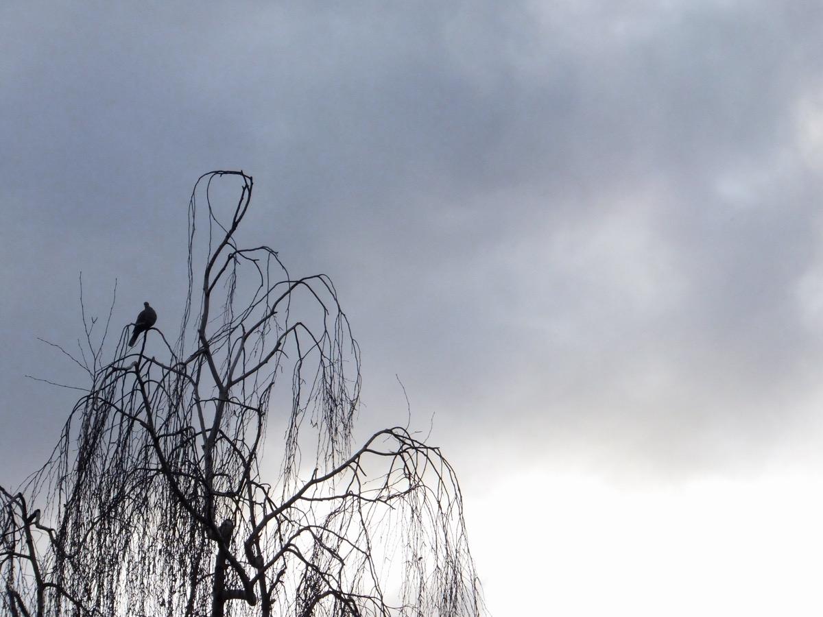 Eine Taube sitzt in einer unbelaubten Birke, im Hintergrund dunkle Wolken und helle Himmelsstreifen