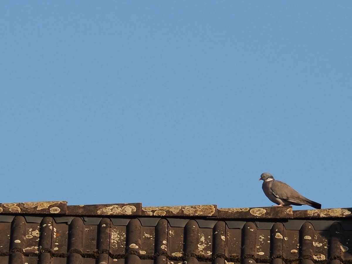 Eine Taube sitzt auf einem Dachfirst, darüber blauer Himmel
