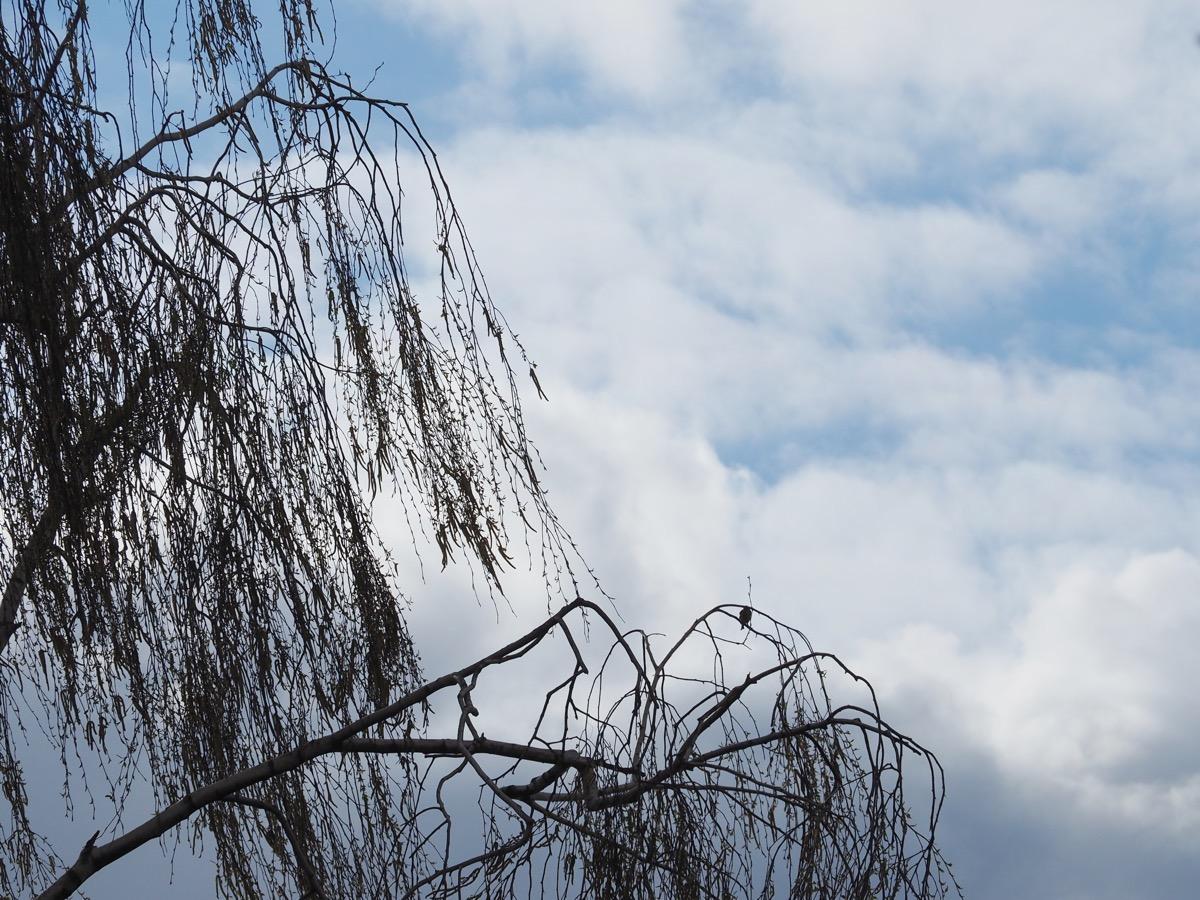 Weiße Haufenwolken vor hellblauem Himmel, im Vordergrund eine unbelaubte Birkenkrone, in der ein kleiner Vogel sitzt