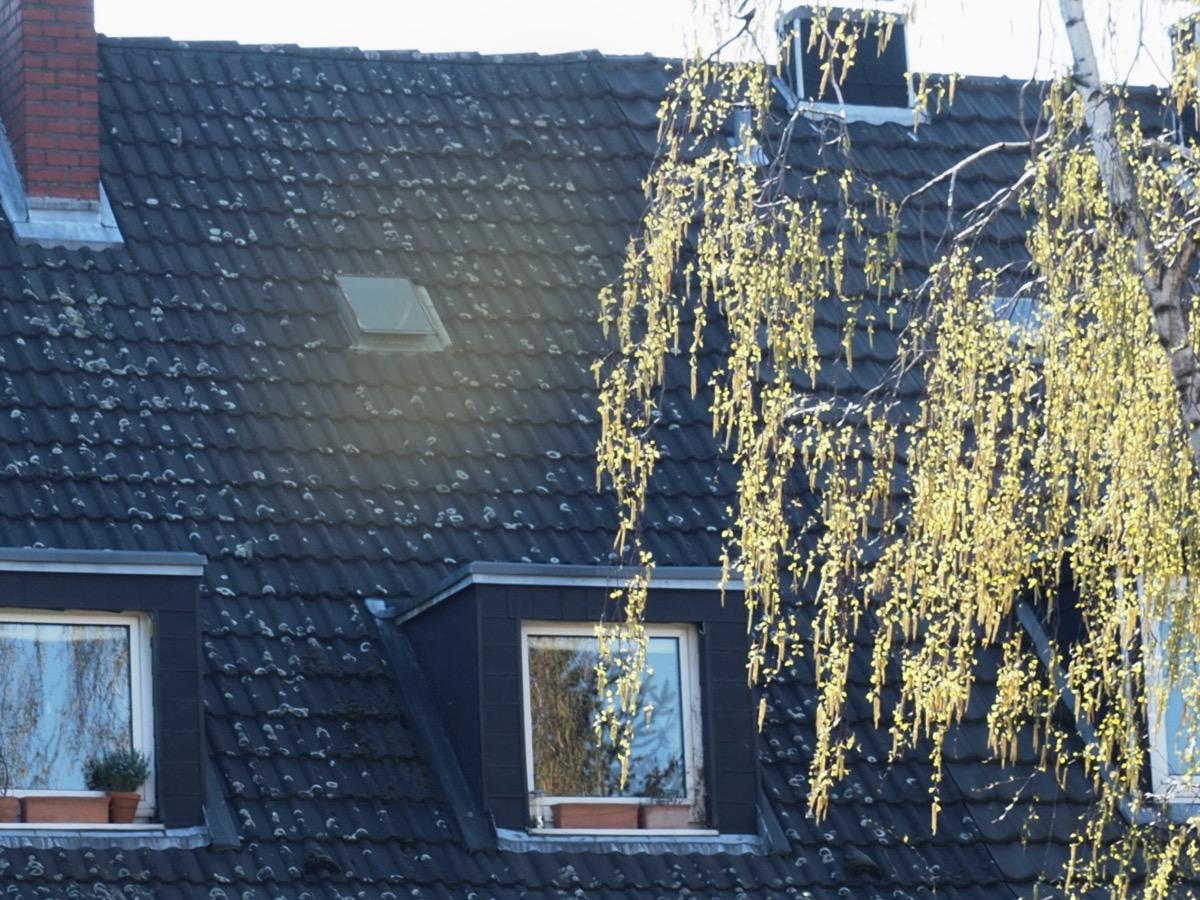 Eine gelbgrüne Pollenwolke vor einem Hausdach, rechts eine Birke
